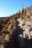 Trekking fra i cactus giganteschi ad Isla Incahuasi Salar de Uyuni Dipartimento di Potosà bolivia Immagini Stock