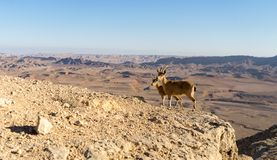 Trekking in Negev dramatic stone desert, Israel. View of ramon crater desert of southern israel during hiking Stock Photos
