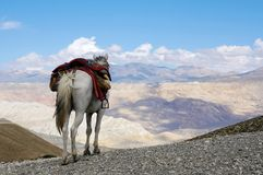 Saddled horse stands on a hill and looking at the Himalayan mountains. Trekking to the closed zone of Upper Mustang. Nepal. Saddled horse stands on a hill and Stock Image