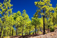 Trekking to Paisaje lunar moon landscape from Vilaflor along green canarian pine trees Pinus canariensis growing on lava royalty free stock image