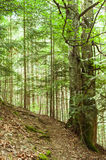 Trekking trail leading through summer landscape of pine tree forest Stock Images