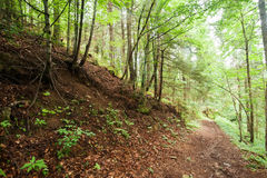 Trekking trail leading through summer landscape of pine tree forest Royalty Free Stock Image
