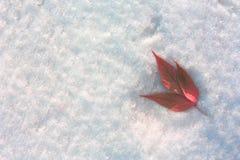 Treklöver i snön på rätten Röda sidor på en bakgrund av snö Royaltyfria Bilder