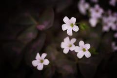 Treklöverrosa färger Royaltyfria Bilder
