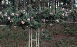 Treliça da flor da rosa do rosa na cidade de Dalat Imagens de Stock Royalty Free