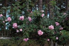 Treliça da flor da rosa do rosa na cidade de Dalat Imagem de Stock