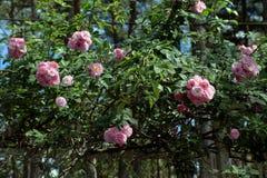 Treliça da flor da rosa do rosa na cidade de Dalat Foto de Stock Royalty Free
