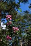 Treliça da flor da rosa do rosa na cidade de Dalat Fotos de Stock