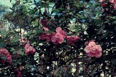 Treliça da flor da rosa do rosa na cidade do lat da Dinamarca Fotografia de Stock Royalty Free