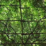Treliça da videira Fotografia de Stock