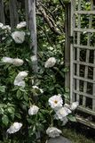 Trellis και άσπρα τριαντάφυλλα Στοκ φωτογραφίες με δικαίωμα ελεύθερης χρήσης