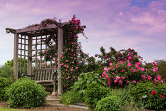 Trellis Blooming Pink Roses Garden Landscape Royalty Free Stock Images