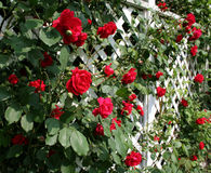 trellis czerwoną różę Obrazy Royalty Free