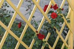 Trellis en bois avec les roses rouges photos stock