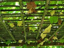 A trellis with grape vines Stock Image