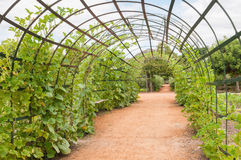 Trellis for pumpkin plants Stock Image