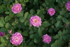 Trellis vermelho de Rosa Fotografia de Stock Royalty Free
