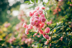 Trellis vermelho de Rosa foto de stock