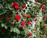 Trellis vermelho de Rosa Imagens de Stock Royalty Free