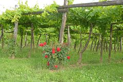 Trellis Vineyard stock photos