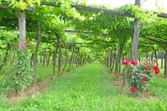Trellis Vineyard stock image