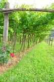 Trellis Vineyard stock photo