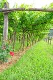 Trellis Vineyard Stock Photo