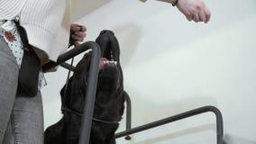 Trem de Cynologist para correr Labrador preto na escada rolante vídeos de arquivo