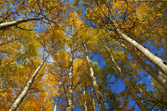 tremble atteignant des arbres de ciel photo libre de droits
