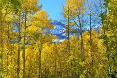 Tremble jaune pendant la saison de feuillage photographie stock libre de droits
