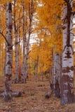 Trembles 12 d'automne Photographie stock