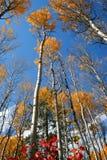 Trembles 7 d'automne Image stock