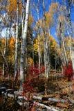 Trembles 8 d'automne Photographie stock libre de droits