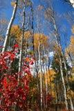 Trembles 9 d'automne Photographie stock