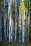Trembles bleus avec des feuilles de jaune de lumière du soleil et d'automne de matin Photos stock