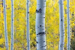 Trembles bleus avec des feuilles de jaune de lumière du soleil et d'automne de matin Image libre de droits
