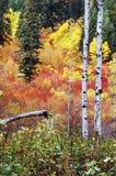 Trembles d'automne Photos libres de droits