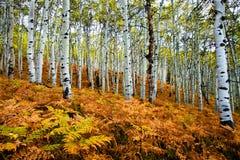 Trembles d'automne Images libres de droits