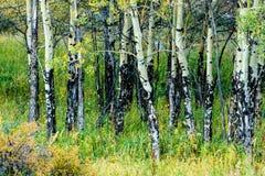 Trembles du Colorado en automne Images stock