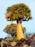 Tremblez l'arbre avec un nid sociable sur Rocky Hill, en dehors de Keetmanshoop, la Namibie image libre de droits