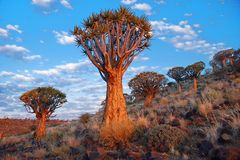 Tremblez la forêt d'arbre Photo libre de droits