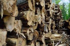 Trembling Aspen (Populus tremuloides) on Log Landing. Harvested popple logs on landing Royalty Free Stock Photo