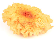Tremella fuciformis Royalty Free Stock Photo