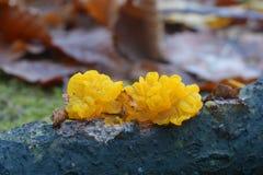 Tremella mesenterica grzyb zdjęcie stock