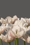 Tremendous grade of white tulips with pink steaks. Stock Photo