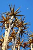 Tremer a árvore com o céu azul - Namíbia imagens de stock royalty free
