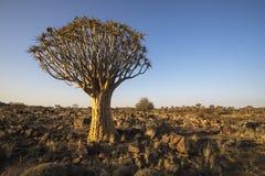 Tremer a árvore no sol do fim da tarde Fotografia de Stock