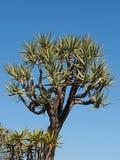 Tremer a árvore = o kokerboom Imagens de Stock