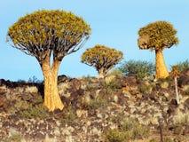 Tremer a floresta da árvore, fim da tarde, perto de Keetmanshoop, Namíbia fotografia de stock