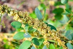 Tremer o gênero Cuscuta é plantas parasíticas Imagem de Stock